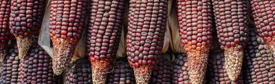 purple-corn