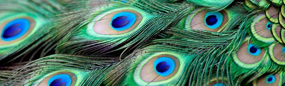 China peacock mums 2-blog